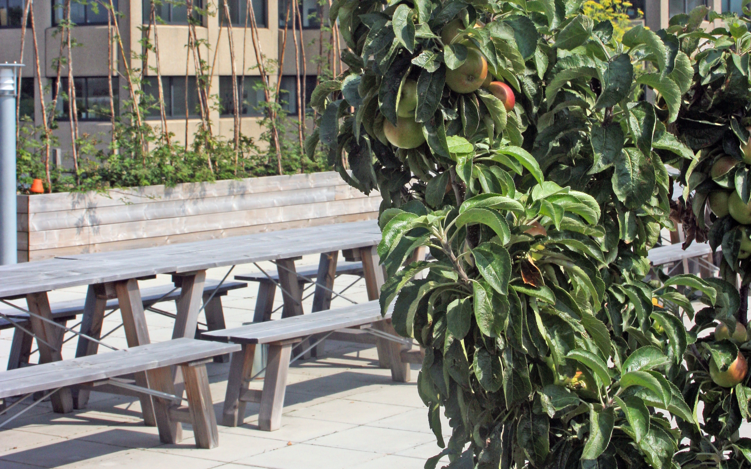 Small apple trees in front of benches and tables on a roof