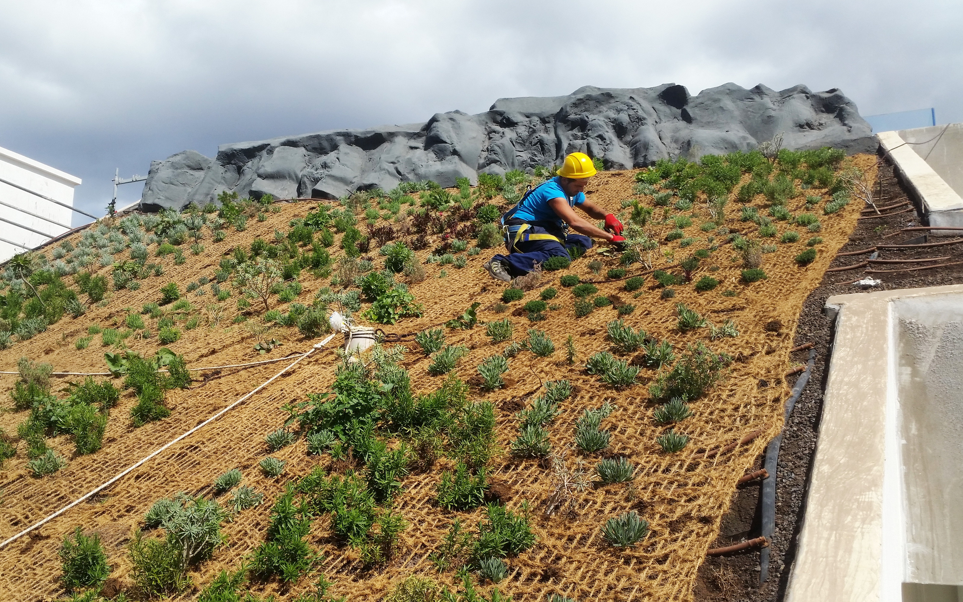 Roof gardener planting on a green roof