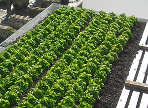 Exemplos de aplicação sobre o tema da agricultura urbana