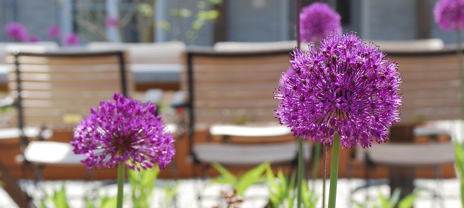 Ornamental leeks in front of a large table and chairs