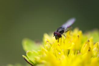 Sedum with insect