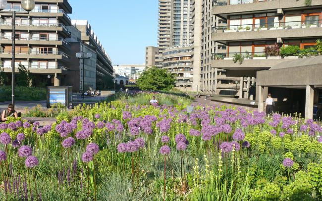 Pink Allium and other flowers surrounded by residential buildings